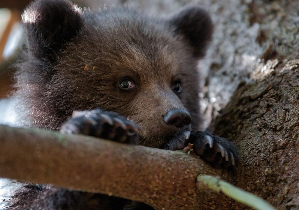 Медвежий угол: 10 фактов о самом крупном хищнике Европы Медвежий угол: 10 фактов о самом крупном хищнике Европы Small WW229354