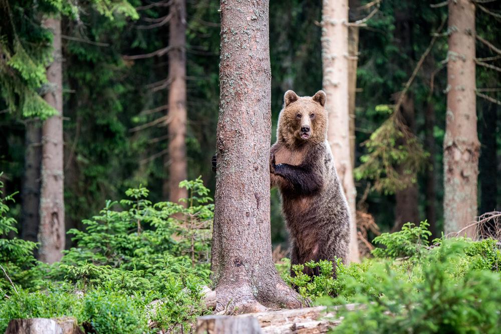 Медвежий угол: 10 фактов о самом крупном хищнике Европы Медвежий угол: 10 фактов о самом крупном хищнике Европы Small WW229359