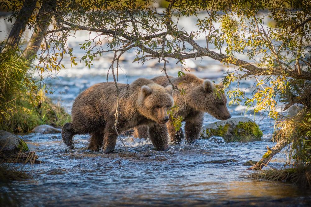Медвежий угол: 10 фактов о самом крупном хищнике Европы Медвежий угол: 10 фактов о самом крупном хищнике Европы Small WW266631