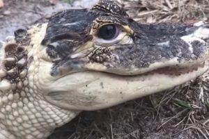 Во Флориде украли уникального белого аллигатора
