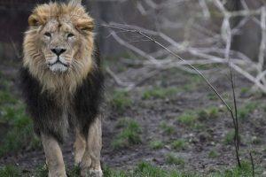 В Германии из зоопарка сбежали львы и тигры