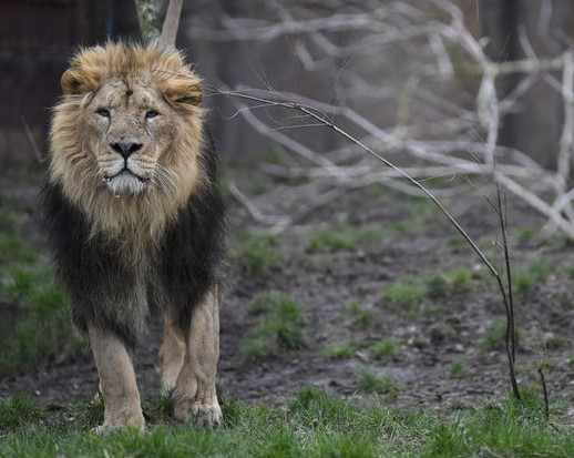 В Германии из зоопарка сбежали львы и тигры.Вокруг Света. Украина
