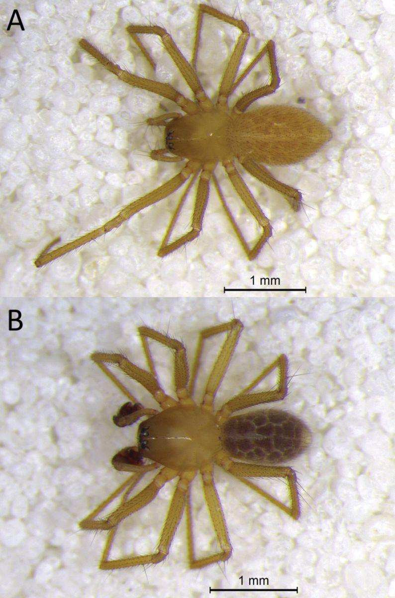 В индийских пещерах обнаружили новый вид пауков В индийских пещерах обнаружили новый вид пауков pauki
