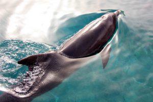 В Таиланде умер дельфин, проглотивший 80 пакетов