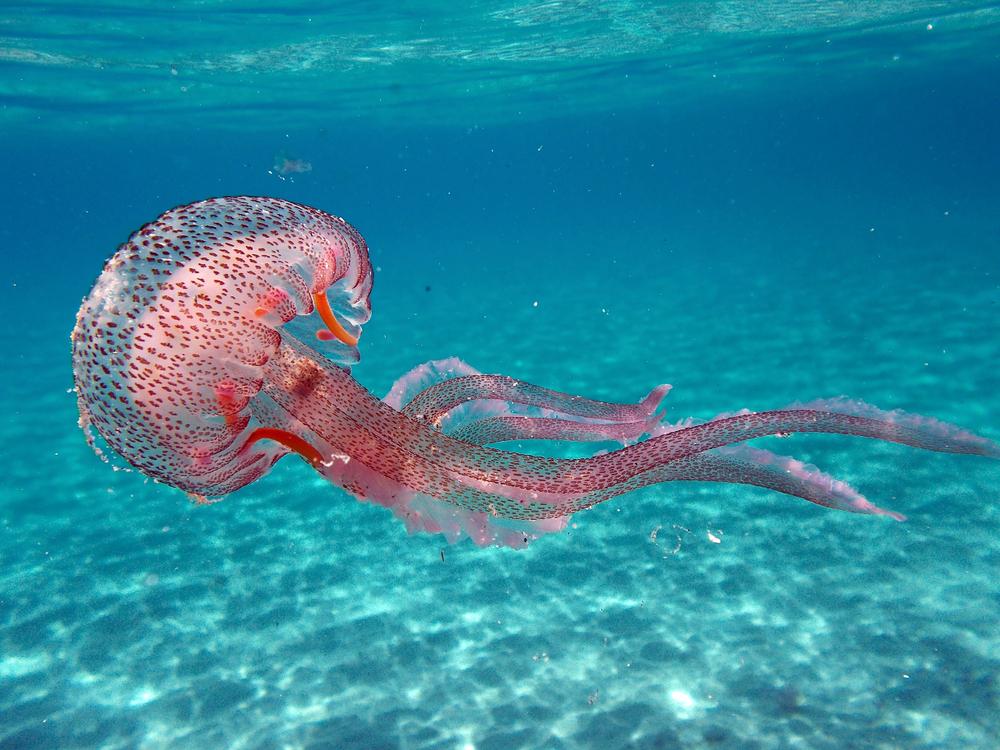 С пляжей Коста-дель-Соль испанцы собрали 11 тонн ядовитых медуз.Вокруг Света. Украина