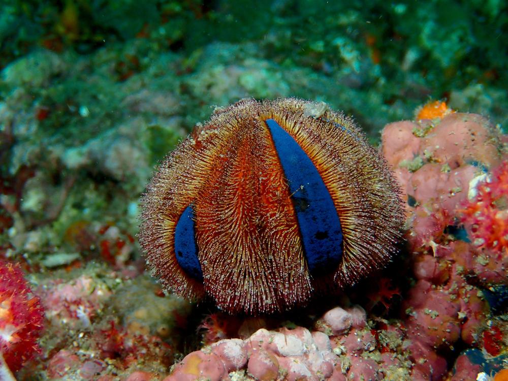 Морские ежи видят ножками Морские ежи видят ножками shutterstock 1104195209