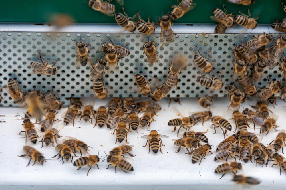 Пчеловоды Франции похоронили пчел на Марсовом поле (видео).Вокруг Света. Украина