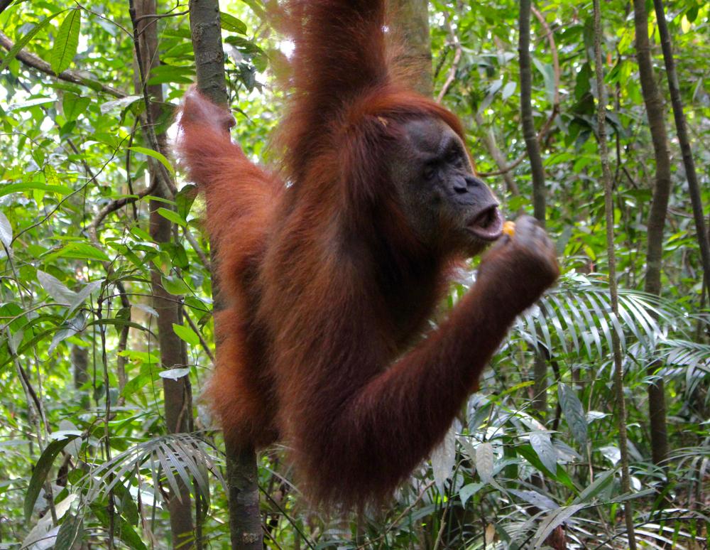 Орангутанг сразился с бульдозером, защищая дом (видео)