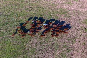 Генетики восстановили облик вымершей коровы-бульдога