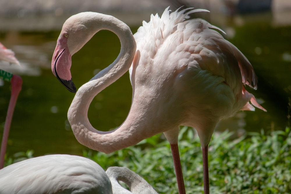 На Сиваш прилетела стая розовых фламинго