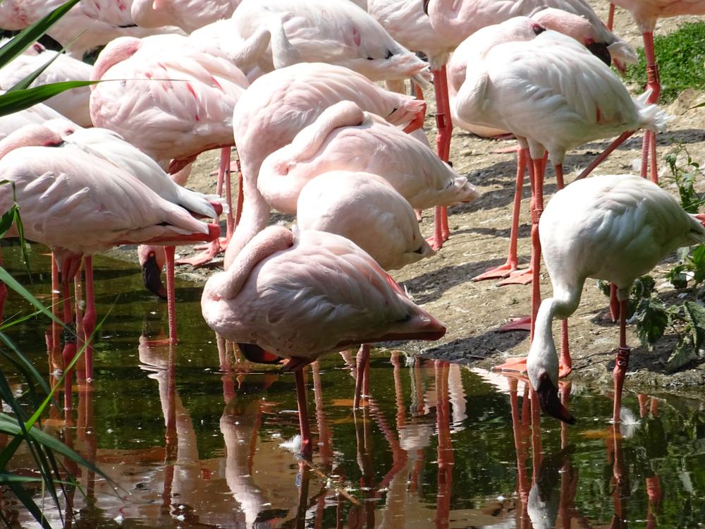 На Сиваш прилетела стая розовых фламинго На Сиваш прилетела стая розовых фламинго shutterstock 1115209178