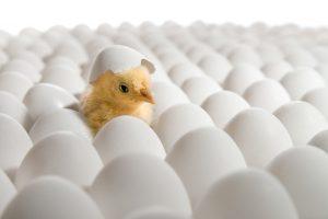 В Грузии из выброшенных на свалку яиц вылупились сотни птенцов