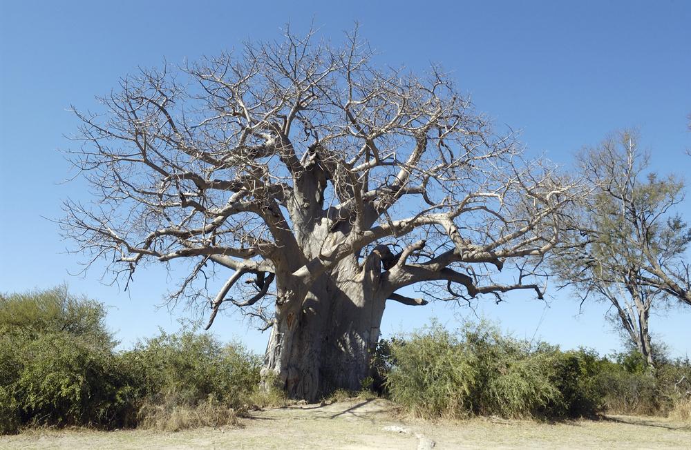 Баобабов нет: самые старые деревья планеты погибают из-за изменений климата