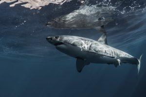 Акулы плавают за каяком в нескольких метрах от пляжа (видео)