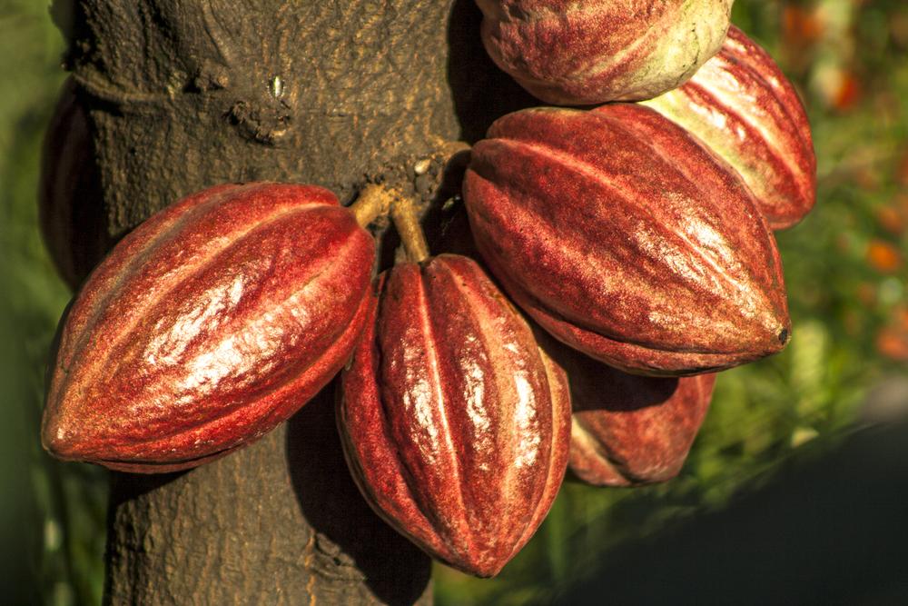 Древние майя расплачивались шоколадом Древние майя расплачивались шоколадом shutterstock 634295747