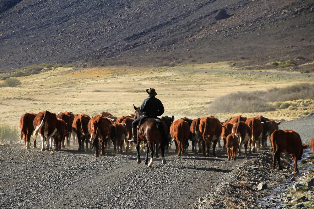 Генетики восстановили облик вымершей коровы-бульдога Генетики восстановили облик вымершей коровы-бульдога shutterstock 651839722