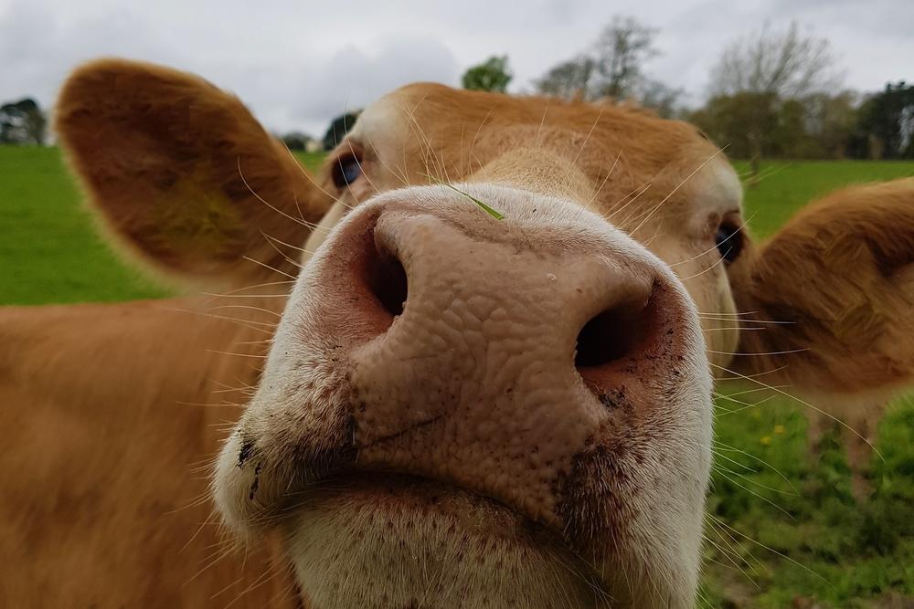 Болгария требует убить фермерскую корову за незаконное пересечение границы.Вокруг Света. Украина
