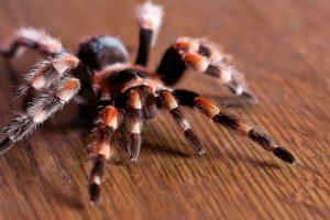 Биолог снял тарантула, который