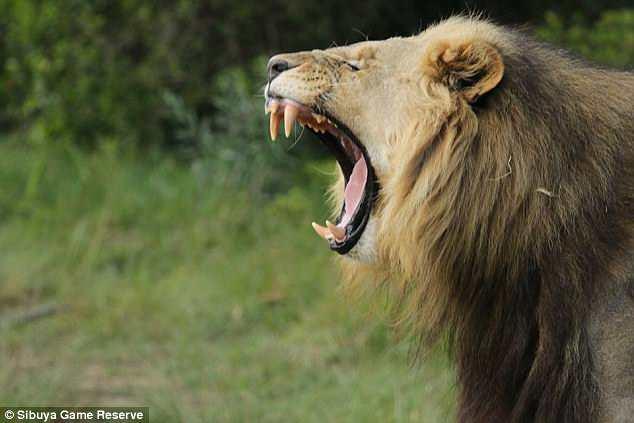 В ЮАР львы растерзали браконьеров.Вокруг Света. Украина