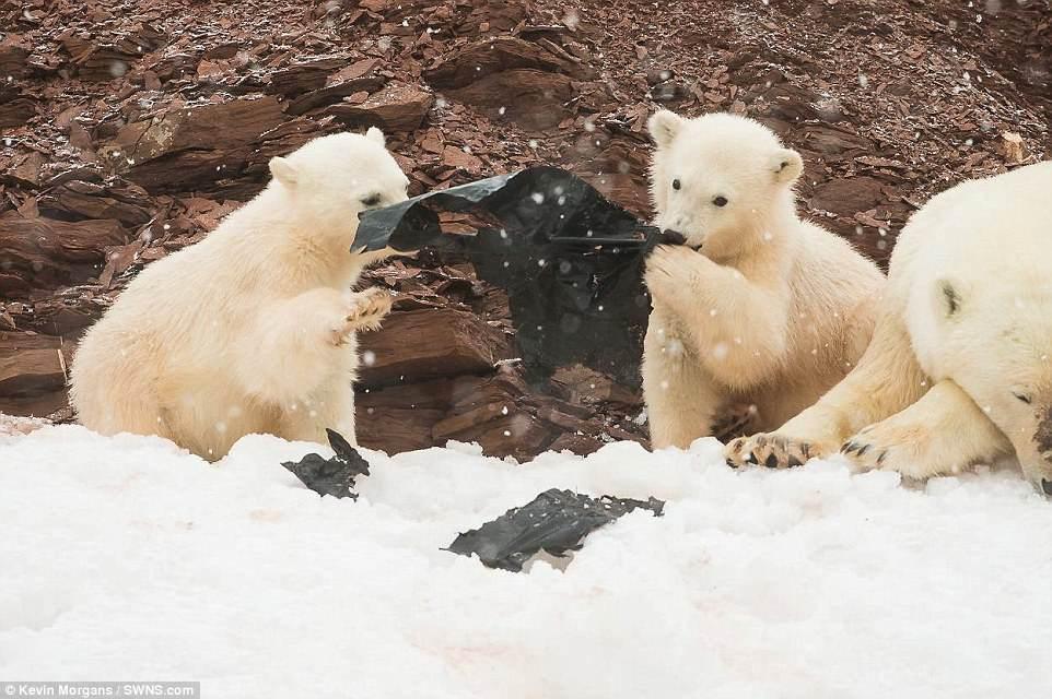 Белые медвежата на Шпицбергене играют пластиком (фото)