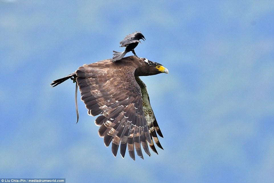Маленькая птица прокатилась на спине у орла (фото)