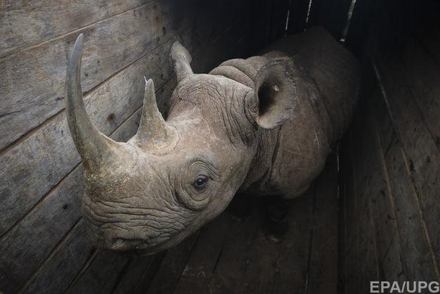 В Кении вымирающие носороги погибли после перевозки в  заповедник