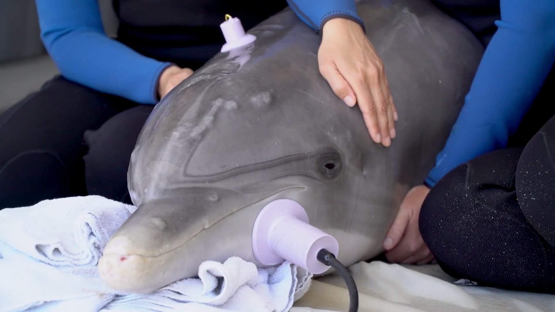 Дельфина, которого спасли от акулы, выпустили в океан (видео)