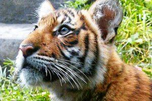 День тигра: 10 фактов о самой большой кошке