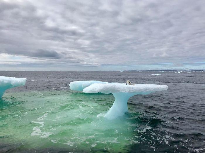 Лед тает, животные гибнут: рыбаки приняли тощего песца за детеныша тюленя Лед тает, животные гибнут: рыбаки приняли тощего песца за детеныша тюленя arctic fox rescued iceberg canada harrigan russell 1 5b39d097f2b83  700