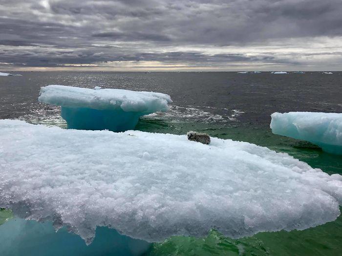 Лед тает, животные гибнут: рыбаки приняли тощего песца за детеныша тюленя Лед тает, животные гибнут: рыбаки приняли тощего песца за детеныша тюленя arctic fox rescued iceberg canada harrigan russell 2 5b39d09e9826a  700