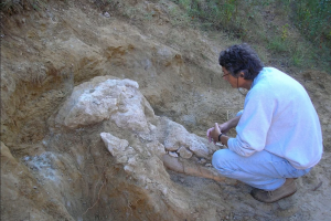 Найден редкий череп пиренейского мастодонта