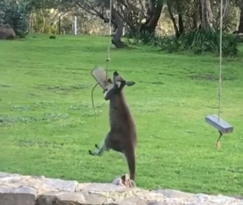 В Австралии кенгуру решил покататься, но не смог залезть на качели