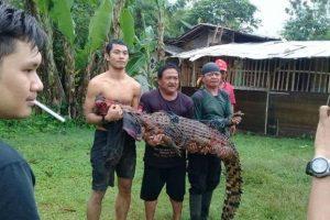 Индонезийцы казнили почти 300 крокодилов