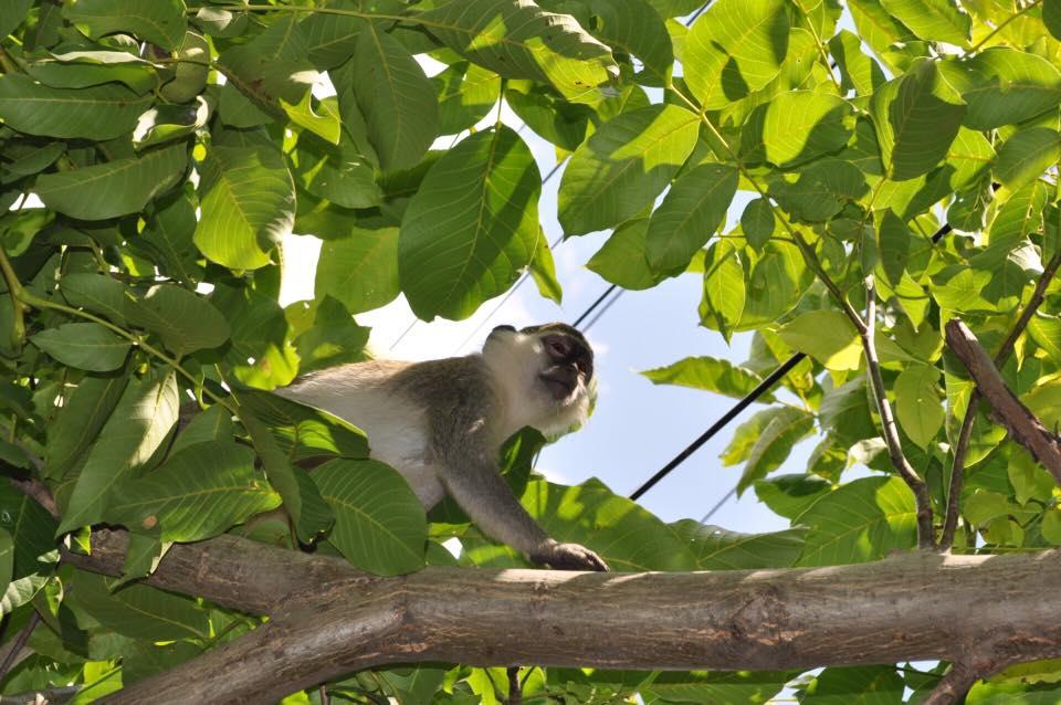 В Одесской области поселились сбежавшие из зоопарка обезьяны