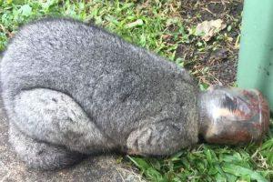 В Австралии опоссум застрял головой в банке из-под шоколада