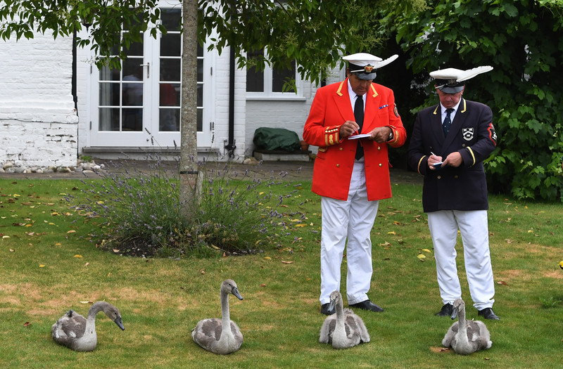 Сколько лебедей у Елизаветы? В Британии началась церемония подсчета королевских птиц