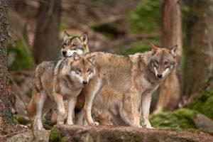 Волк из Чернобыля прошел пол Украины