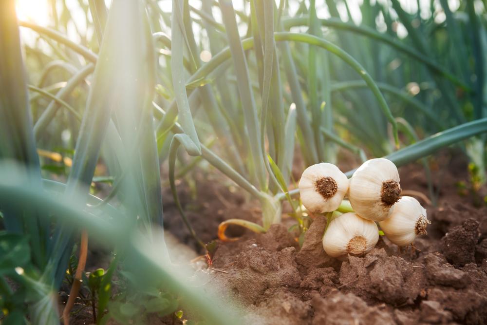 География салата: где находится родина привычных нам овощей? География салата: где находится родина привычных нам овощей? shutterstock 1080150941