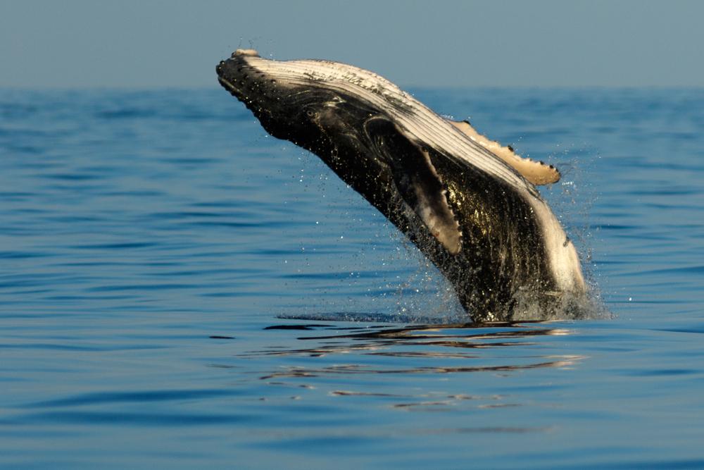 В Австралии спасли горбатого кита, попавшего в сети для акулы (видео)