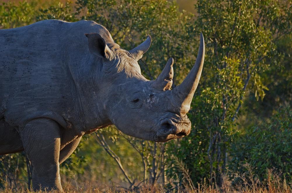 Получены гибридные эмбрионы для спасения северного белого носорога