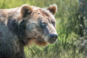 В России медведей признали стратегически важным ресурсом