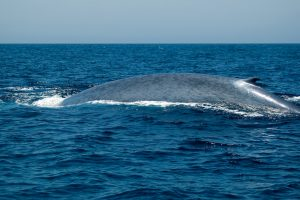 Исландские китобои убивают вымирающих голубых китов