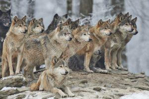 Волки быстрее мирятся после ссоры, чем собаки