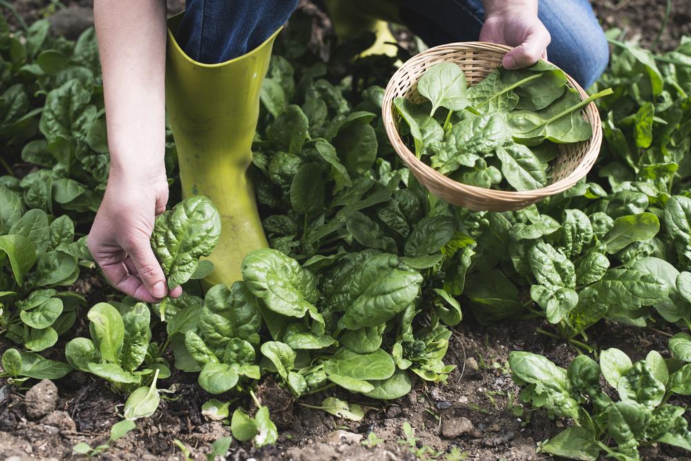География салата: где находится родина привычных нам овощей? География салата: где находится родина привычных нам овощей? shutterstock 449111989