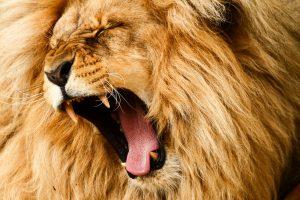 Из частного зоопарка под Днепром сбежал лев и устроил охоту