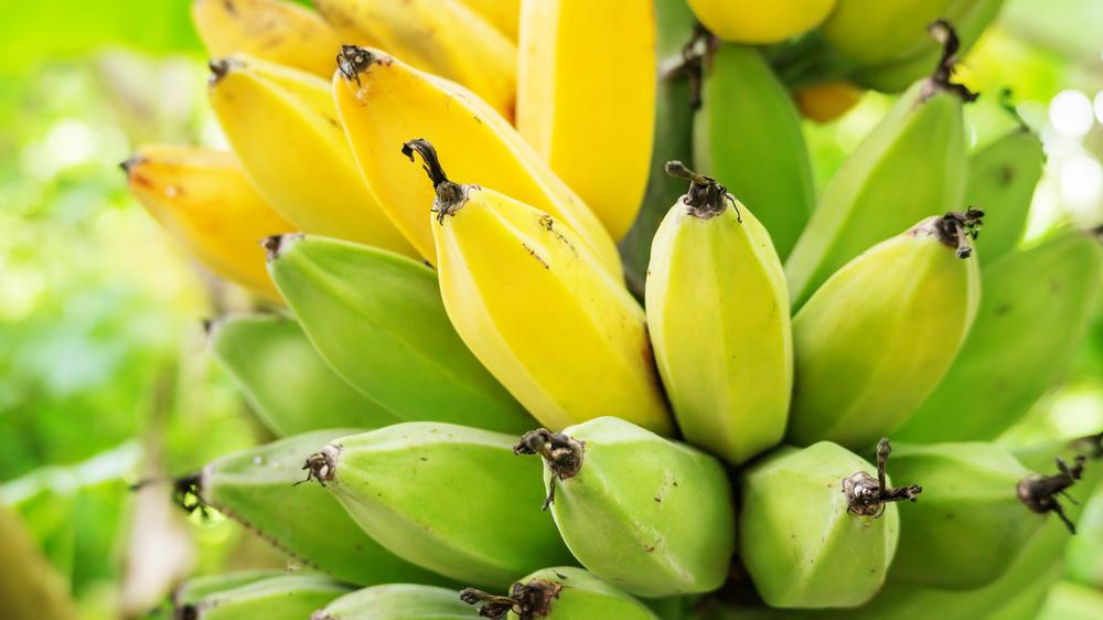 В зеленых меньше сахара, а в коричневых – крахмала: вся правда о пользе бананов