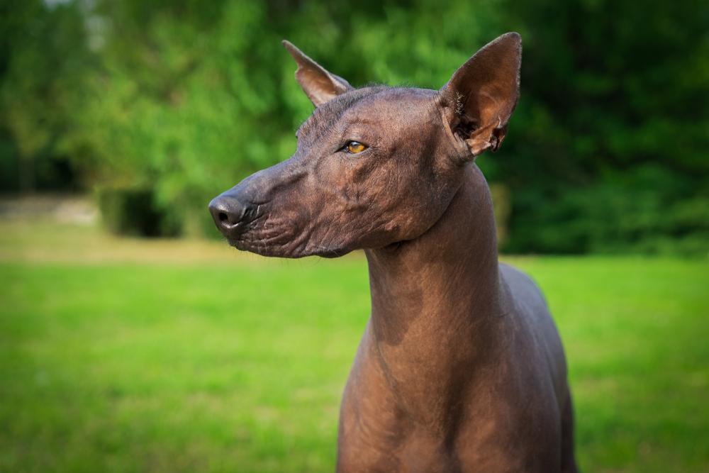 Европейские колонизаторы уничтожили собак Америки вместе с индейцами