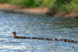 В Миннесоте одна утка воспитывает больше 70 птенцов