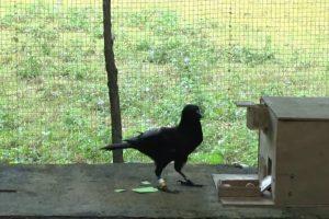 Вороны способны изобрести строительный инструмент