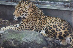 В зоопарке США ягуар загрыз шестерых соседей